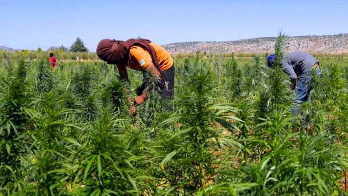 لماذا على الاتحاد الأوروبي مساعدة المغرب على تقنين زراعة القنب؟